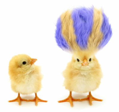 A chick with interesting hair